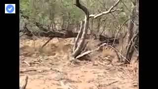 पांच जंगली सुअर बनाम तेंदुआ