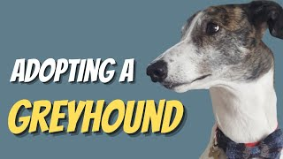 Adopting A Retired Racing Greyhound