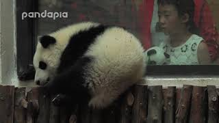 Panda cub sleeps aside the window