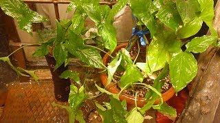طريقة اكثار نبات الزينة رجل البطة  او اذن الفيل او  السنجونبوم والعناية به Syngonium