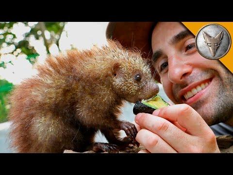 Tiny Porcupine LOVES Treats