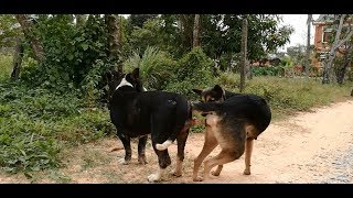 Amazing Single Dogs Breeding In My Country How Dogs Breed In Cambodia