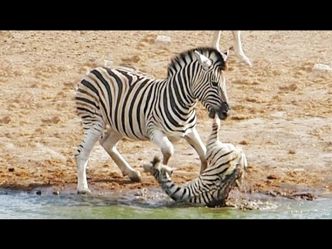 Zebra Tries to Kill Foal While Mother Fights Back