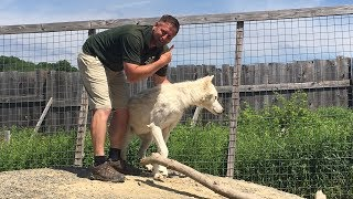 Animal Adventures with Jordan: Arctic Wolves