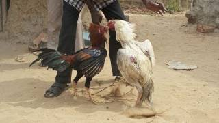 Rooster Attacks And Kills Man At Cock Fight