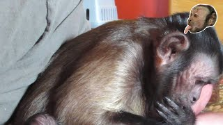Capuchin Monkey Meets Baby Brother