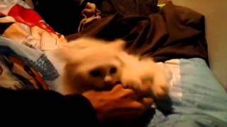 القط الشرس