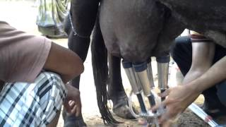 Low cost milking machine MILK MASTER Made In INDIA