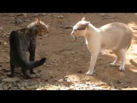 Bôsco Vídeo 133 Briga de gato Felinos & território