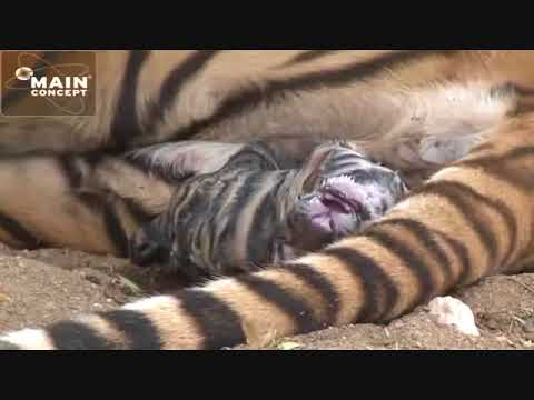 Tiger Birth at Tiger Canyons. Save the tiger, help the tiger. Share our post.