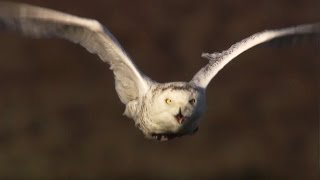 Master of the Sky: Owl Vs Wolf  | Super Powered Owls | BBC