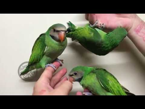Xxx Mp4 Parakeet Babies 3gp Sex