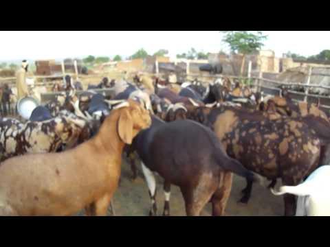 FM GOATS FARM EID GOATS 2012