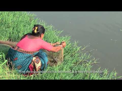 Shrimp cultivator  in Bangladesh