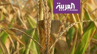 إنتاج طن من القمح يحتاج إلى ألف طن من المياه!
