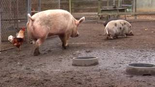 PAWS TIP   FUNNY FARM PIGS