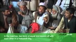 بودنه (بلدرچین) جنگی در افغانستان