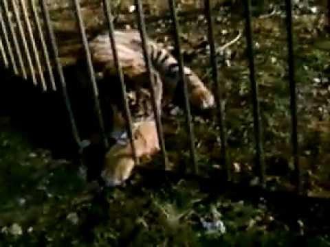 Circo Lidia Togni cuccioli di tirge