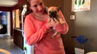 Christmas surprise gift French Bulldog puppy