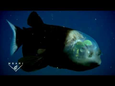 Macropinna microstoma A deep sea fish with a transparent head and tubular eyes