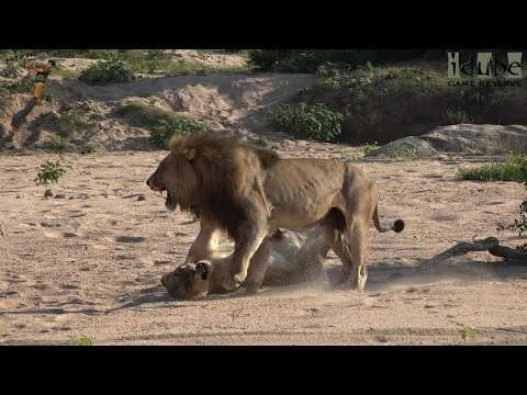 Sex In The Wild: Lions On The Beach Roar After Mating