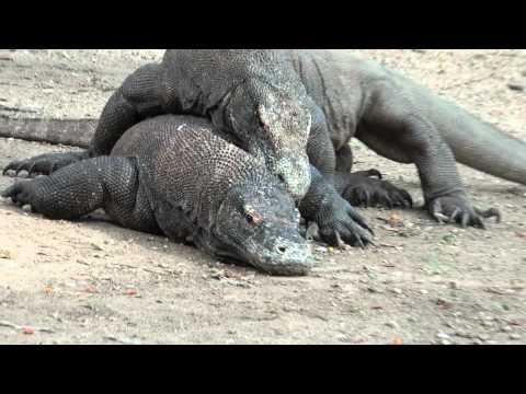 Wrestling of the Komodo Dragons
