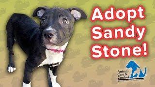 Adopt Sandy Stone! // Pit Bull Mix // Adoption Featurette