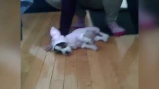 Puppy Dressed as a Bunny Can't Stand Up