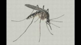 Komar to jest zwierze...