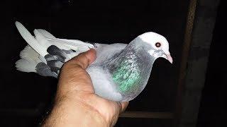 Pigeon Kabootar Dobaz pakra  in Urdu/Hindi.
