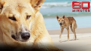 Why dingoes aren't to blame for attack on tourists | 60 Minutes Australia