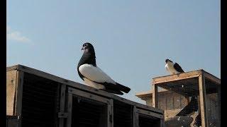 Gulldar khaal , Shirazi , khaal chaap (Sheikh Sahab) multan pigeons..