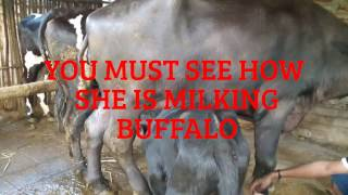 HOW SHE IS MILKING BUFFALO