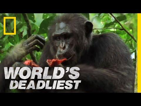 World s Deadliest Killers Like Us Chimpanzees