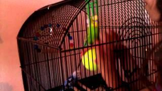 Parakeet Sessy playing & balancing on a ball