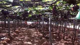 Grape farming at Cumbum, Tamil Nadu
