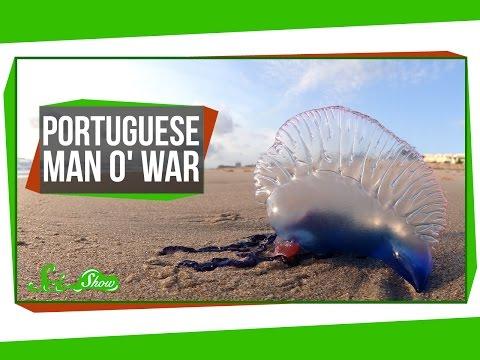 Portuguese Man o War An Organism Made of Organisms