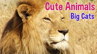 BIG CATS - Animals For Kids - Big Cat photos with classical music for children by Oxbridge Baby