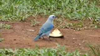 Birding Panama 2015 Movie