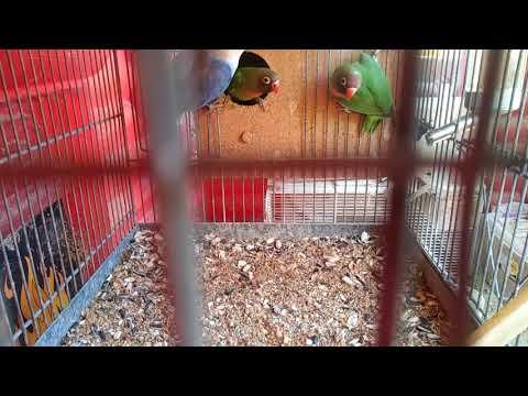 Male Opaline Lovebird feeding nigrigenis & roseicollis babies