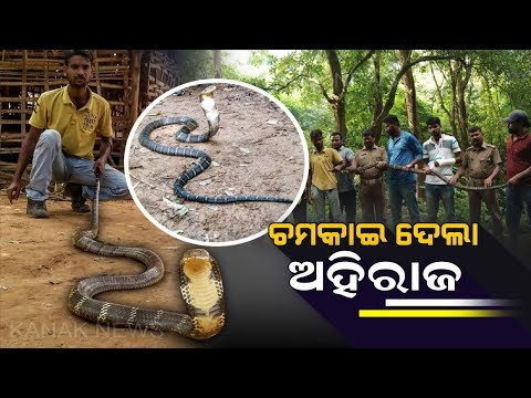 Xxx Mp4 14ft Long King Cobra Rescued From House In Angul 3gp Sex