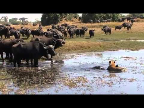 Okavango Swamp Cats