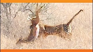 Leopard Surprises Impala With a Quick Kill!