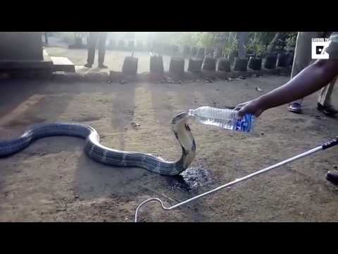 The King Cobra Was So Thirsty Drank Water From A Bottle