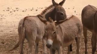 mating of male and female donkey and donkey