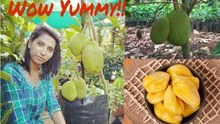 How to grow jackfruit at the balcony👍!!