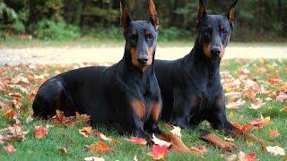 Dobermann: tout savoir sur cette race de chien (Doberman Pinscher) [VF]
