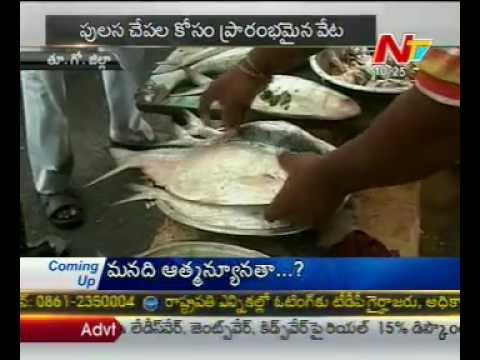 Pulasa fish - Only Godavari special Costly fish-a story