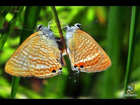 Begini cara kupu-kupu melakukan hubungan intim