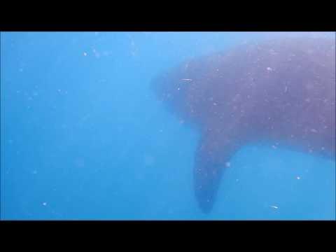 Xxx Mp4 Tofo Whale Shark2 3gp Sex